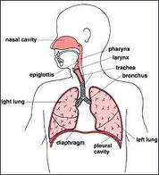 educating the public on upper respiratory tract infection - ideas, Human Body